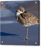 Willet Resting At The Beach Acrylic Print