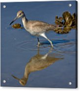 Willet Searching For Food In An Oyster Bed Acrylic Print