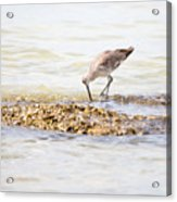 Willet Set 2 Of 4 By Darrell Hutto Acrylic Print