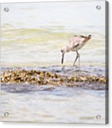 Willet Set 3 Of 4 By Darrell Hutto Acrylic Print