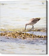 Willet Set 4 Of 4 By Darrell Hutto Acrylic Print