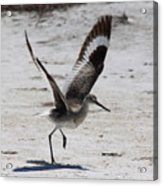 Willet Take-off Acrylic Print