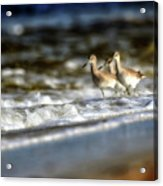 Willets In The Waves Acrylic Print