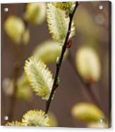 Willow Catkins Acrylic Print