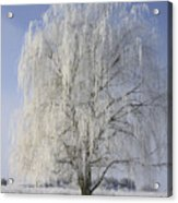 Willow In Ice Acrylic Print