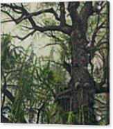 Willow Tree Acrylic Print