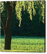 Willow Weeping Acrylic Print