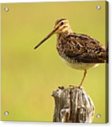 Wilson's Snipe On Morning Perch Acrylic Print