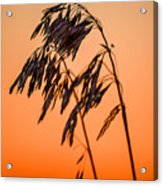 Wilting Sunset Acrylic Print