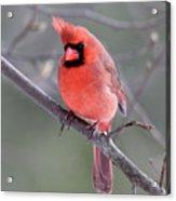 Windblown Cardinal Acrylic Print