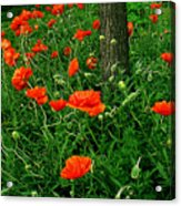 Windblown Poppies Acrylic Print