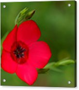 Red Annual Flox Acrylic Print