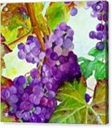 Wine Vine Acrylic Print