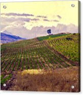 Wine Vineyard In Sicily Acrylic Print