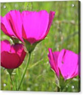 Winecup Flowers In Sunlight Acrylic Print