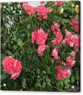 Winery Roses  Acrylic Print