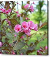 Wines And Rose Weigela Acrylic Print