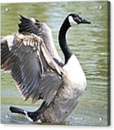 Wing Flapping Acrylic Print