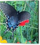 Wing Spread Butterfly Acrylic Print