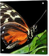 Wing Texture Of Eueides Isabella Longwing Butterfly On A Leaf Ag Acrylic Print