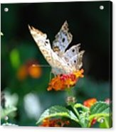 Winged Butter Acrylic Print