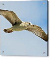 Wings Aloft Acrylic Print