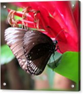 Wings Of Brown - Butterfly Acrylic Print
