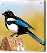 Winking Magpie Acrylic Print