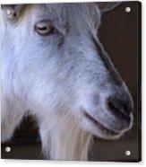 Winsome Goat Acrylic Print