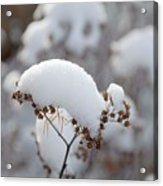 Winter Bloom Acrylic Print
