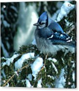 Winter Blue Jay Acrylic Print