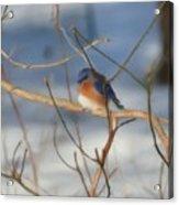 Winter Bluebird Art Acrylic Print