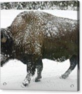 Winter Buffalo Acrylic Print