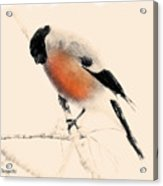 Winter Bullfinch Acrylic Print