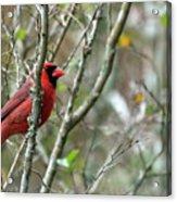 Winter Cardinal Sits On Tree Branch Acrylic Print