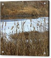 Winter Cattails  Acrylic Print