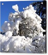 Winter Cotton Acrylic Print