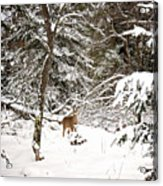 Winter Doe In The Upper Peninsula Acrylic Print