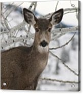 Winter Doe Of The Okanagan Acrylic Print