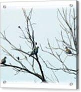 Winter Doves Acrylic Print