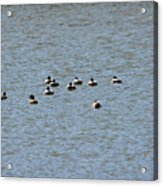 Winter Ducks Swimming Away  Acrylic Print