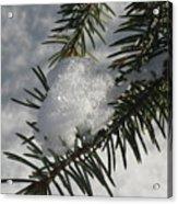 Winter Evergreen Acrylic Print