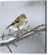 Winter Finch 2010 Acrylic Print