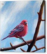 Winter Finch Acrylic Print