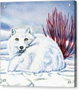 Winter Fox Acrylic Print