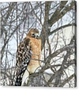 Winter Hawk Acrylic Print