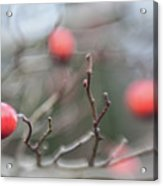 Winter Hawthorn Acrylic Print