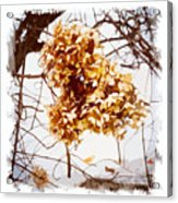 Winter Hydrangea Acrylic Print