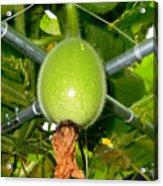 Winter Melon In Garden 1 Acrylic Print