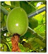 Winter Melon In Garden 2 Acrylic Print